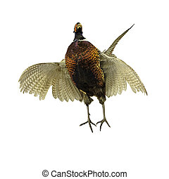 male pheasant isolated on white