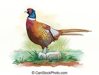 Male pheasant watercolor