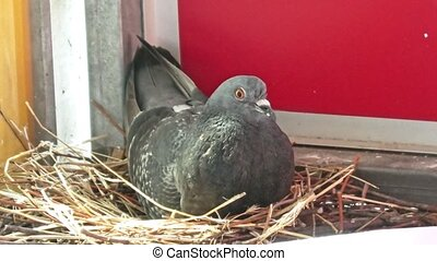 male pigeon hatching eggs - a male of domestic pigeon ...