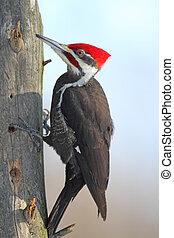 Pileated Woodpecker - Male Pileated Woodpecker (Dryocopus ...