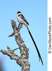 Pin-tailed Whydah (Vidua macroura) - Male Pin-tailed Whydah...