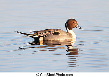 Male Pintails Swimming - Male Northern Pintail (Anas acuta) ...
