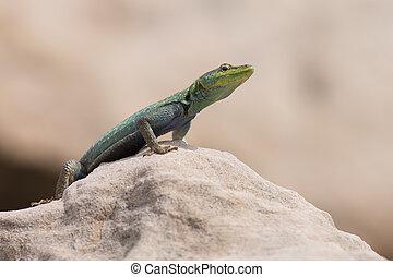 Male Platysaurus lizard on a rock in Mapungubwe, South Africa.