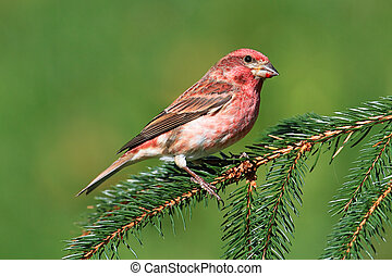 Male Purple Finch (Carpodacus purpureus) perched with a green background