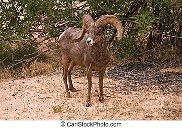 Male Ram Big Horn Sheep