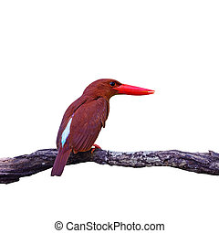 male Red-bearded Bee-eater - Colorful red Kingfisher, male...
