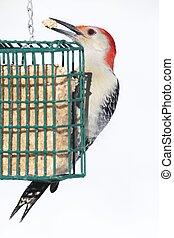 Male Red-bellied Woodpecker (Melanerpes carolinus) on a Feeder