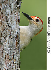Male Red-bellied Woodpecker on a red pine tree