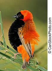 Male red bishop bird (Euplectes orix) displaying with puffed...