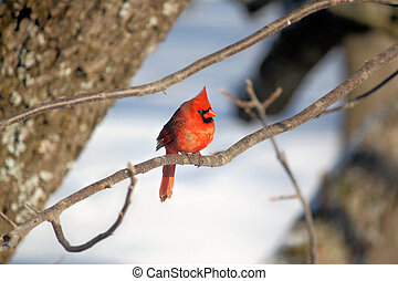 Male Red Cardinal - This young Red Cardinal just visited the...