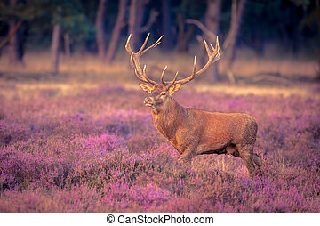 Male red deer big antlers