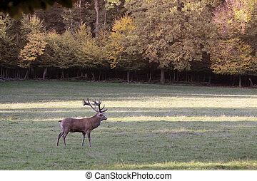 Male red deer in a forest clearing