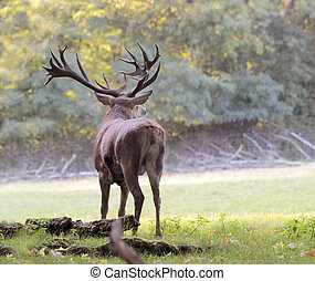 Male red deer in autumn