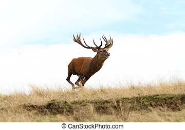 male red deer running wild