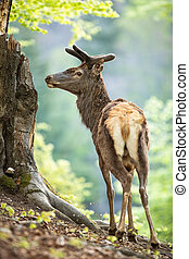 Male red deer, cervus elaphus, stag in old forest from back view looking aside. Peaceful antler aside in spring from profile. Mammal with brown fur and velvet antlers in wilderness.