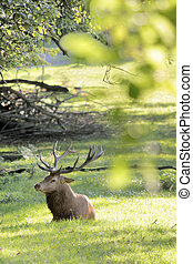 Male red deer with green trees