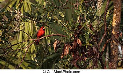 Male red Northern cardinal bird Cardinalis cardinalis ...