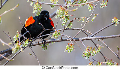 Male Red-winged Blackbird in a tree in soft focus