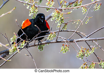 Male Red-winged Blackbird in a tree