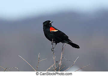 Male red-winged blackbird standing on a branch
