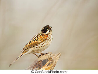 Male reed bunting perching in the wetlands