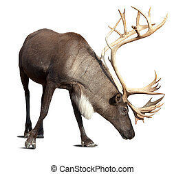 male reindeer over white with shade - Large male reindeer....