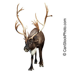 male reindeer with large horns over white - male reindeer...