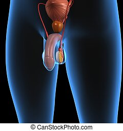 The male reproductive system consists of a number of sex organs that form a part of the human reproductive process. In this type of reproductive system, these sex organs are located outside the body, around the pelvic region. The main male sex organs are the penis and the testicles which produce ...