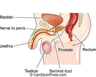 Male Reproductive
