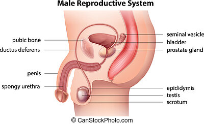 Male reproductive system - Illustration showing the male ...