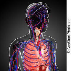 male respiratory system - Illustration of male respiratory...
