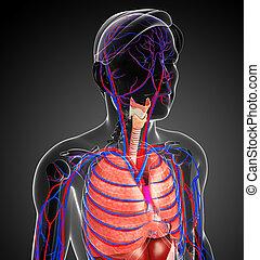 male respiratory system - Illustration of male respiratory...
