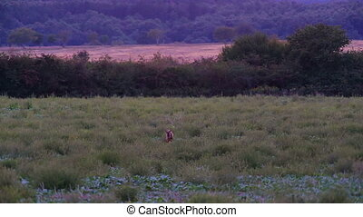 Male roe on the field at evening