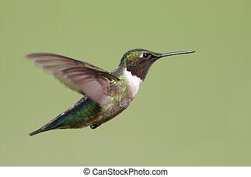 Male Ruby-throated Hummingbird (archilochus colubris) in flight