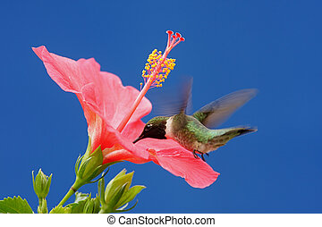 Male Ruby-throated Hummingbird (archilochus colubris) in flight with a Hibiscus flower and a blue sky background