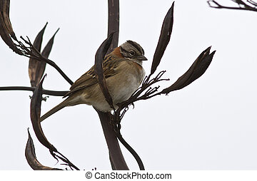 male Rufous-collared Sparrow sitting on a branch of a bush 1