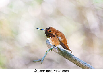 male rufous hummingbird at Richmond BC Canada