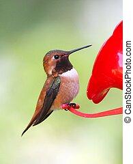 Male Rufous Hummingbird Perched on a Feeder - A Male Rufous...