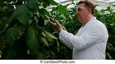Male scientist examining aubergine in greenhouse 4k - Side ...