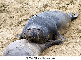 male Sea lion at a beach