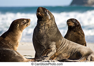 male sea lion - Sea lion males on beach close-up, new...