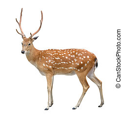 male sika deer isolated on white background