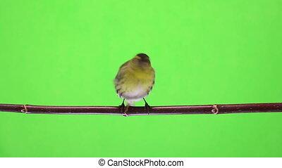 male siskin - female siskin isolated on a green background,...