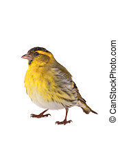 male siskin isolated on a white background, studio shot