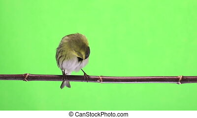 male siskin - male siskin isolated on a green background,...