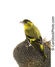 male siskin sitting on a sunflower isolated on a white...
