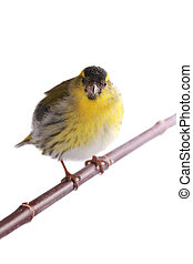 male siskin solated on a white background, studio shot