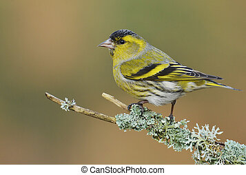 Male Siskin, (Spinus spinus)