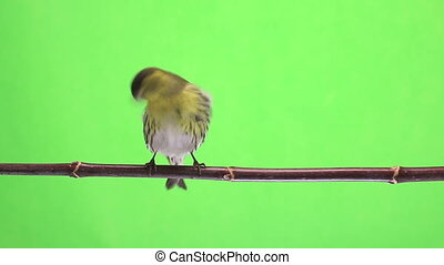 male siskin - male and female siskin isolated on a green...
