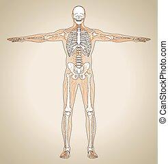 (male), sistema linfático, humano